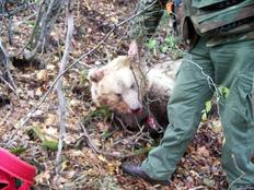 Άγνωστος σκότωσε και ακρωτηρίασε αρκούδα δύο ετών στην Ξάνθη.