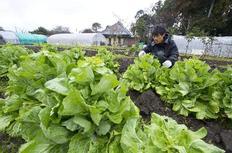 Ιάπωνας αγρότης εξετάζει ανήσυχος λαχανικά βιολογικής καλλιέργειας σε κτήμα περιοχής που βρίσκεται σε απόσταση 60 χλμ. από το Τόκιο.